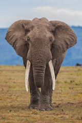 Mighty Elephant Bull (Xenedis) Tags: africa animal eastafrica elephant elephantbull gamedrive grass kenya maasaimara maranorthconservancy narokcounty plains republicofkenya riftvalley safari savannah