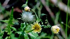 Löwenzahn (dandelion) (dl1ydn) Tags: dl1ydn garden nature natur botany agfa solinar 75mmf35 altglas oldlens löwenzahn dandelion