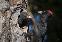The connection (MatsOnni) Tags: mattisaranpää palokärki dryocopusmartius blackwoodpecker linnut birds tikat woodpeckers