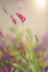 June Evenings.... (KissThePixel) Tags: flowers flower evening evenings light sunlight june beauty simplebeauty beautiful pink purple green mauve grass spring summer earlysummer latespring garden nature nikon nikond750 sigma f28 28 bokeh bokehlicious macro makro 70200mm sigma70200mm