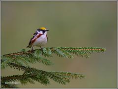 Chestnut-sided Warbler (FotoRequest) Tags: wildlife birds nature animals