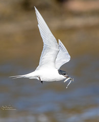 Sandwich Tern and Catch (Steve (Hooky) Waddingham) Tags: animal countryside coast bird british nature northumberland flight wild wildlife swan photography planet tern sea