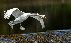 Paddles Down (Steve (Hooky) Waddingham) Tags: animal countryside coast bird british nature northumberland flight wild wildlife swan photography planet tern sea ngc