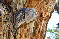 Tawny Frogmouth (philk_56) Tags: western australia perth bird tawny frogmouth herdsman lake