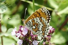 Mélitée du plantain (Ezzo33) Tags: france gironde nouvelleaquitaine bordeaux ezzo33 nammour ezzat sony rx10m3 parc jardin papillon papillons butterfly butterflies mélitéeduplantain melitaeacinxia