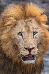 Thirst Quenched (Xenedis) Tags: africa afrika animal bigcat bigfive cat eastafrica gamedrive kenya lion maasaimara maranorthconservancy narokcounty pantheraleo republicofkenya riftvalley safari simba wildlife ig fh offbeatpride
