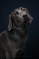 Silver girl Padme (Wieselblitz) Tags: dog dogs dogphotography dogphotographer dogportrait doginthestudio pet pets petportrait petphotography petphotographer elkevogelsang wieselblitz labrador labradorportrait silver silverdog elegant lowkey lowkeyportrait studio studioportrait studiodogportrait