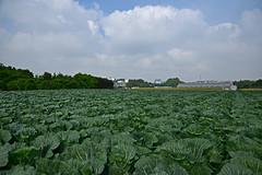 20190604_016_2 (まさちゃん) Tags: 空 雲 キャベツ畑 キャベツ 羽沢キャベツ トウモロコシ 玉蜀黍