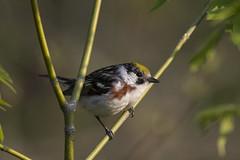 (The Transit Photographer) Tags: rideautrail trailhead marshlandsconservationarea springmigration birds warblers chestnutsidedwarblers male