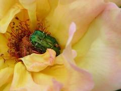 """""""Madame Meilland"""" a de la visite: Une cétoine dorée. """"Peace Rose"""" has a visitor: a rose beetle. (cpenotgiraudeau) Tags: eats flowers but it participates pollinition not bad"""