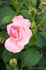 _DSF0129.jpg (DrOpMaN®) Tags: xe2 m43turkiye korhankumral fujinonxc1650mmf3556ois flowersplants fuji outdoor lightroomclassic fujifilm fujinon