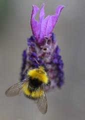 Early Bumblebee (suekelly52) Tags: flower insect wing lavender bee bombuspratorum earlybumblebee