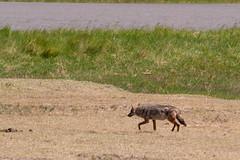 Black-backed jackal, Ngorongoro, Tanzania (Amdelsur) Tags: tanzanie chacalàchabraque continentsetpays caldeiradungorongoro afrique africa blackbackedjackal canismesomelas chacaldegualdrapa ngorongorocaldera tz tza tanzania régiondarusha