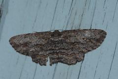 Cleora Displicata.. HWW (Janice Perrin) Tags: cleoradisplicata geometridae moth