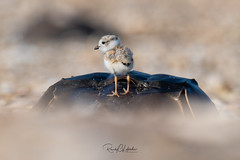 Piping Plover - Charadrius melodus | 2019 - 1 (RGL_Photography) Tags: birding birds birdwatching charadriusmelodus chick endangeredspecies gardenstate gatewaynationalrecreationarea hatchling jerseyshore monmouthcounty mothernature newjersey nikonafs600mmf4gedvr nikond5 ornithology pipingplover plover sandyhook shorebirds us unitedstates wildlife wildlifephotography ©2019rglphotography