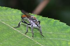 Laphria index - Hamilton County, Ohio, USA - June 1, 2019 (mango verde) Tags: asilidae robberflies laphria index fly robberfly yard hamiltoncounty ohio usa mangoverde laphriaindex
