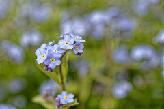 Soft blue / Bleu tendre (GEMLAFOTO) Tags: fleurs flowers softblue bleutendre michelgauthier nikond7100