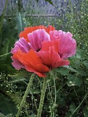 Flowers in Basel (gerdjandijk) Tags: basel blum flower swiss