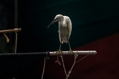 Little Egret (wn_j) Tags: birds birding wildlife wildanimals wildlifephotography canon canon5d4 canon100400 hongkong asia cheungchauisland cheungchau nature naturephotography egret littleegret