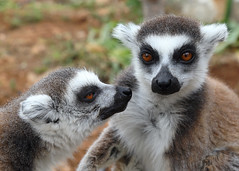 Lemurs (Treflyn) Tags: ringtailed lemur amazones park crete greece