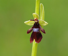 Meadow Fly Orchid - Ophrys insectifera (favmark1) Tags: kent orchids kentorchids wildorchids britishorchids ophrysinsectifera flyorchid