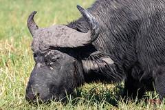 Close Up of Cape Buffalo in Chobe National Park (Botswana, Africa) (Jersey Camera) Tags: africa botswana chobenationalpark pangolinphotosafaris buffalo capebuffalo safari