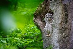 My Mood Today 😡... (DTT67) Tags: owlet barredowl forest 1dxmkii canon bird raptor nature wildlife