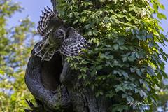 Barred Owl_T3W4371 (Alfred J. Lockwood Photography) Tags: alfredjlockwood birdsinflight birdsofprey raptor barredowl oaktree nest colleyvillenaturecenter spring morning texas virginiacreeper