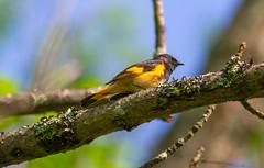 Redstart Profile (John Kocijanski) Tags: warbler americanredstart bird animal nature wildlife bokeh canon400mmf56 canon7d perched tree