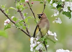 Flower Child (Photos By JM) Tags: nature birds colonelsamuelsmithpark waxwings