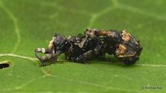 Tiny Weevils, Curculionidae (Ecuador Megadiverso) Tags: andreaskay beetle coleoptera curculionidae ecuador weevil