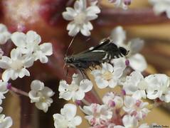 Grapholita sp.? or...Gliphipteryx sp (Geminiature Nature+Landscape Photography Mallorca) Tags: tortricidae mallorca macro raynox raynox250 polilla motten motjes moths lepidoptera micro micromoth microlepidópteros