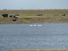 Here They Are Again! (Marit Buelens) Tags: canada alberta brooks kinbrook kinbrookislandprovincialpark animal bird cow americanwhitepelican pelican lake
