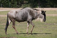 Burgers zoo. Wildebeest. (PeteMartin) Tags: arnhem gnu wildebeest zoo