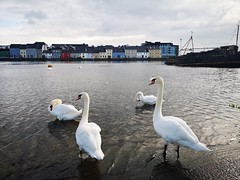 Swans at The Pier Head (mcginley2012) Tags: