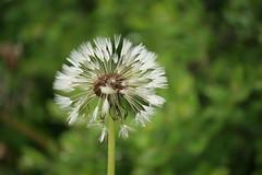 fading (EllaH52) Tags: plant flower summer green dandelion faded fading macro nature bokeh simplicity