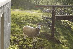 Fjaler (dese) Tags: europa dalsfjorden fjaler sunnfjord vår spring primavera noreg vestlandet norway europe scandinavia sheep sau may28 2019 may282019 may mai