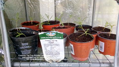 Cosmos 'Tip Top Picotee' seedlings just pricked out on balcony 5th June 2019 002 (D@viD_2.011) Tags: cosmos tip top picotee seedlings just pricked out balcony 5th june 2019