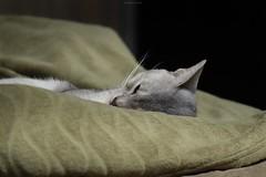 20190415_06_LR (enno7898) Tags: panasonic lumix lumixg9 dcg9 xvario 35100mm f28 cat pet abyssinian