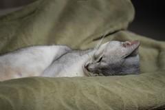 20190415_02_LR (enno7898) Tags: panasonic lumix lumixg9 dcg9 xvario 35100mm f28 cat pet abyssinian