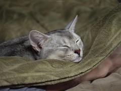 20190417_03_LR (enno7898) Tags: panasonic lumix lumixg9 dcg9 xvario 35100mm f28 cat pet abyssinian