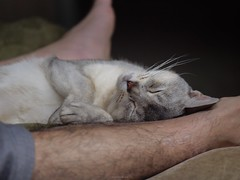 20190422_08_LR (enno7898) Tags: panasonic lumix lumixg9 dcg9 xvario 35100mm f28 cat pet abyssinian