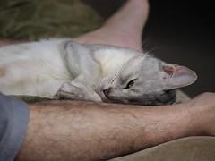 20190422_05_LR (enno7898) Tags: panasonic lumix lumixg9 dcg9 xvario 35100mm f28 cat pet abyssinian