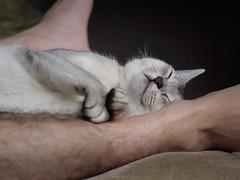 20190422_03_LR (enno7898) Tags: panasonic lumix lumixg9 dcg9 xvario 35100mm f28 cat pet abyssinian