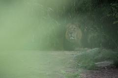 Heiss im Frankfurter Zoo-bw_20190605_6527.jpg (Barbara Walzer) Tags: löwe frankfurterzoo tiere löwen 050619