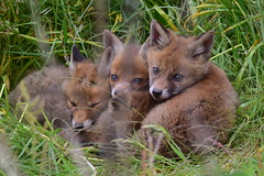 Fox Cubs (Terry Angus) Tags: fox redfox foxcub cub young norden rochdale uk
