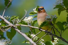 Cedar Waxwing (JDA-Wildlife) Tags: birds nikon nikond7100 tamronsp150600mmf563divc jdawildlife johnny portrait closeup eyecontact waxwings waxwingcedar cedarwaxwing