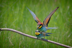 European Bee-eater (Merops apiaster), mating (Kike K.) Tags: bird animal beak feathers dragonfly insect color bokeh canon amateur 80d nature natural walk hiking isonzo soča river water odonata sun light sunlight daylight tail may heat humidity pond branch fly flight flying meal telephoto crop gimp gmic artistic experimental 400mm june 2019 park grass green italy