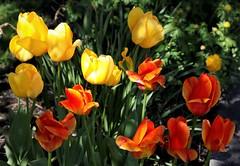 Jørgensdagen (dese) Tags: may6 2019 strandvik fusa blomstrar garden vår spring noreg norway hordaland jørgensdagen sanktgeorgsdag sanktjørgensdag saintgeorgesday saintgeorge georgstag tulipanar tulips tulip tulipa tulipán tulpen tulp