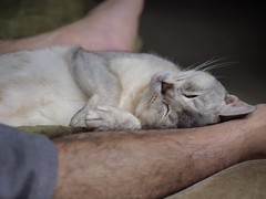 20190422_09_LR (enno7898) Tags: panasonic lumix lumixg9 dcg9 xvario 35100mm f28 cat pet abyssinian